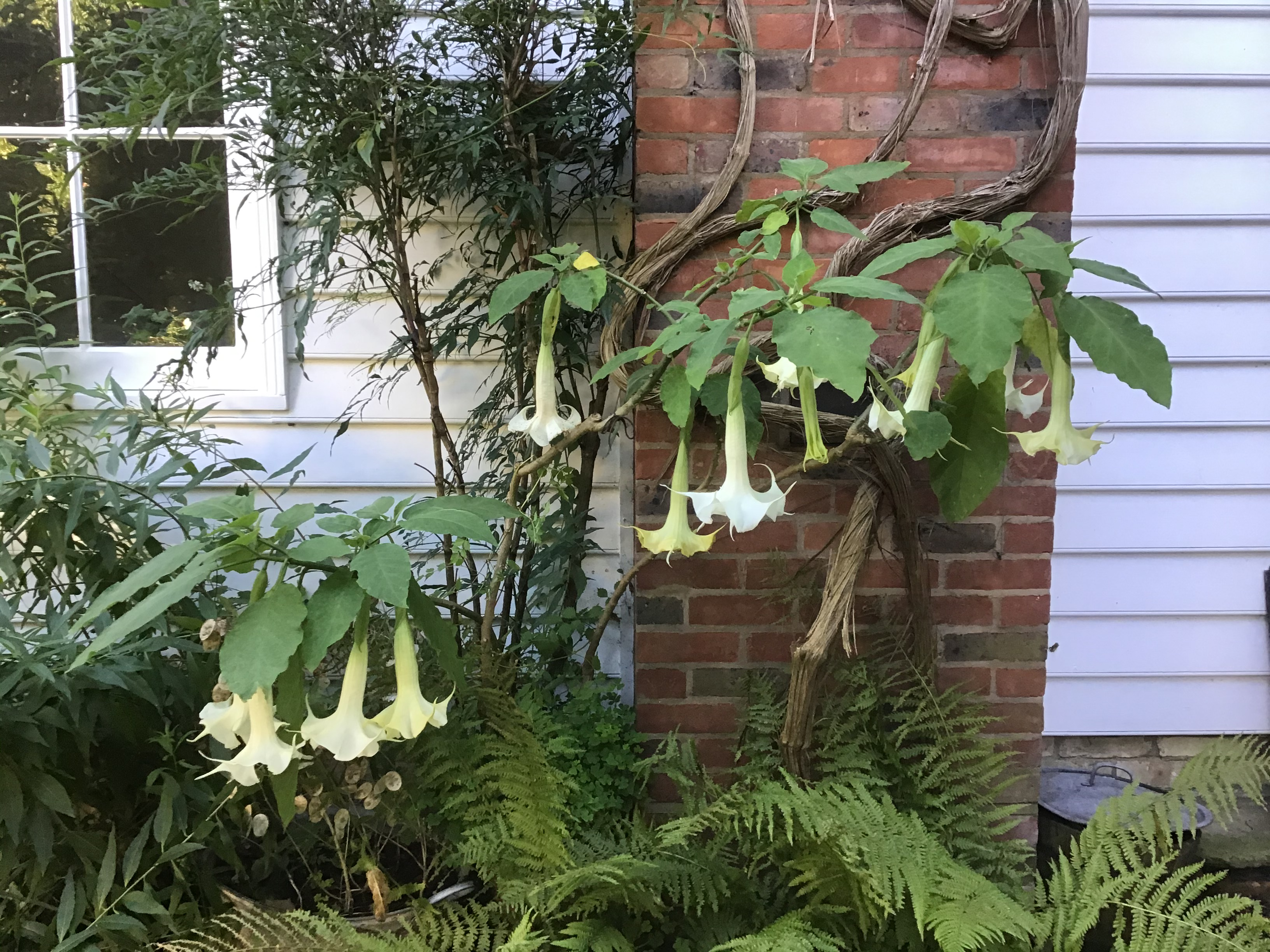 9 October 2020 Brugmansia arborea 'Knightii', banished from the conservatory when it got spider mite but loving life next to the Aga chimney! (Photo Judy Rossiter)
